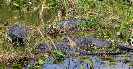 Alligators in the Everglades of Florida