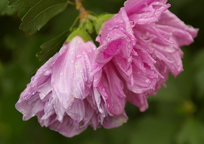 Tree blossoms in the rain