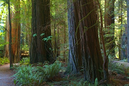 The Redwood Trees of California