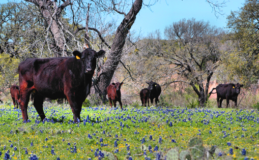 cows among the bluebonnets