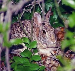 Rabbit hiding
