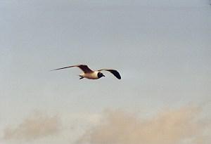 Sailing Gull