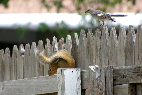 Photo of a mockingbird attacking a squirrel