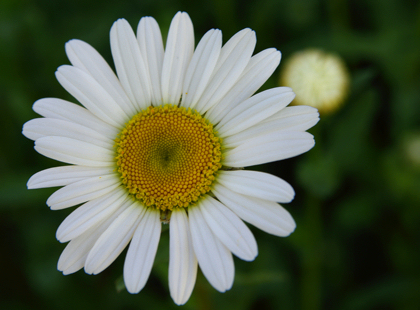 white peddled flower